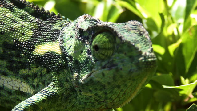 vidéos et rushes de caméléon rabat cou - caméléon