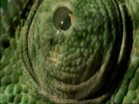cu flapnecked chameleon, chamaeleo dilepis, eye looking, botswana, africa - tierhaut stock-videos und b-roll-filmmaterial