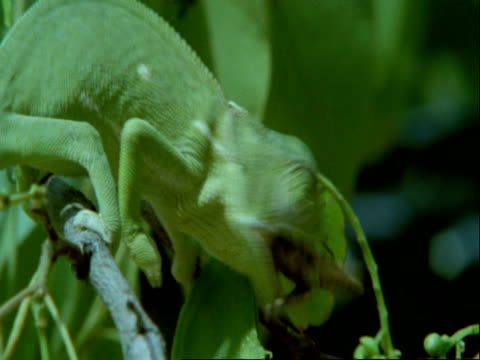 cu flapnecked chameleon, chamaeleo dilepis, grabbing insect with tongue, eating, botswana, africa - 動物の口点の映像素材/bロール