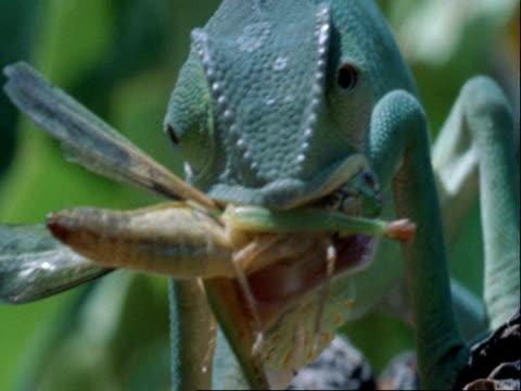 flapnecked chameleon, chamaeleo dilepis, grabbing insect with tongue, eating, botswana, africa - ボツワナ点の映像素材/bロール