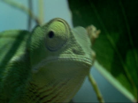 vidéos et rushes de cu flapnecked chameleon, chamaeleo dilepis, in tree, opening mouth, botswana, africa - arbre tropical