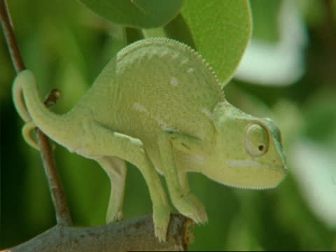 vídeos y material grabado en eventos de stock de flapnecked chameleon, chamaeleo dilepis, moving around on tree branch, botswana, africa - árbol tropical