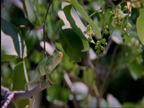 flapnecked chameleon, chamealeo dilepis, on branch snatching bee with tongue, front view, botswana, africa - maul stock-videos und b-roll-filmmaterial