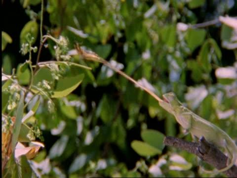 vídeos de stock, filmes e b-roll de flapnecked chameleon, chamealeo dilepis, on branch snatching cricket with tongue, side view, botswana, africa - camuflagem
