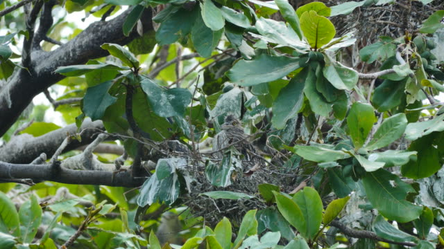 Flapper in a nest on tree.