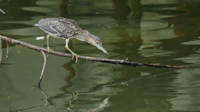 flappy bird (black-crowned night heron) hunting its prey. - bird hunting stock videos & royalty-free footage