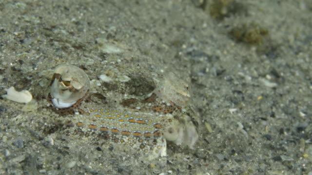 a flat fish buried in the sand, blue heron bridge florida - flat fish stock videos and b-roll footage