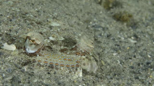 A flat fish buried in the sand, Blue Heron Bridge Florida