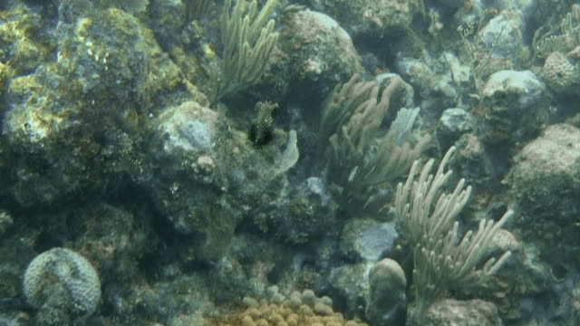 flat fish with neon spots swimming around coral rock at honduras bay islands - flat fish stock videos and b-roll footage