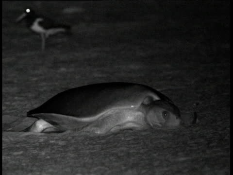 flatback turtle hauls itself up beach to lay eggs, crab island, australia - human limb stock videos & royalty-free footage