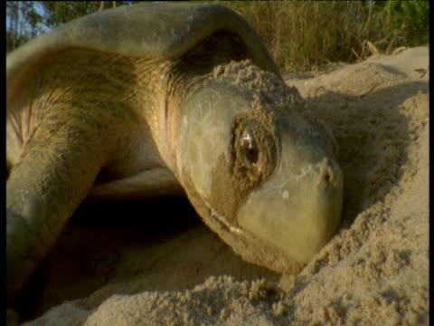 flatback turtle strains to lay eggs in sand, crab island, australia - nest stock-videos und b-roll-filmmaterial