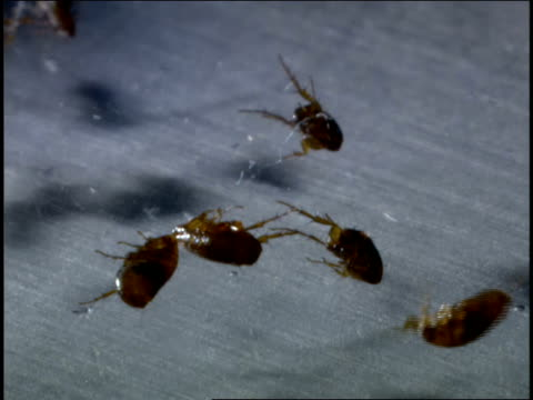 fleas wriggle in a petri dish as they die. - flea insect stock videos & royalty-free footage