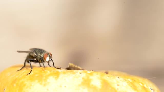 vídeos y material grabado en eventos de stock de mosca de la carne - mosca insecto