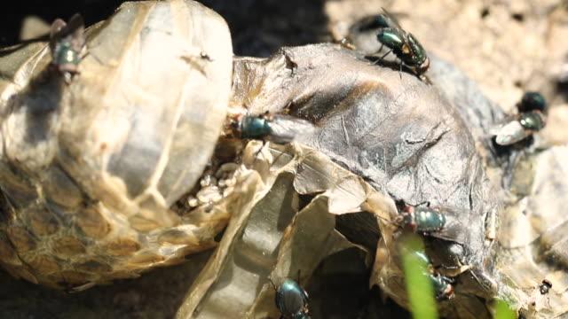 vidéos et rushes de mouches et asticots sur serpent mort - mort description physique