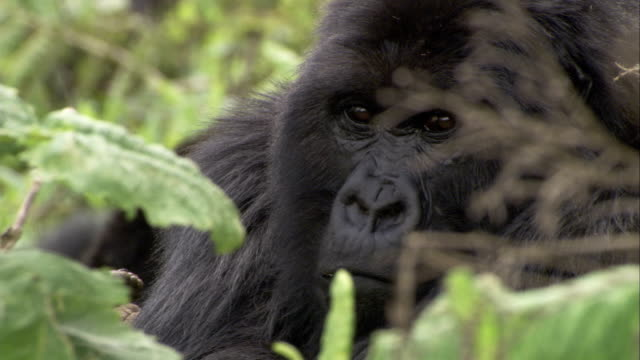 Flies buzz around a mountain gorilla as it rests in foliage. Available in HD.