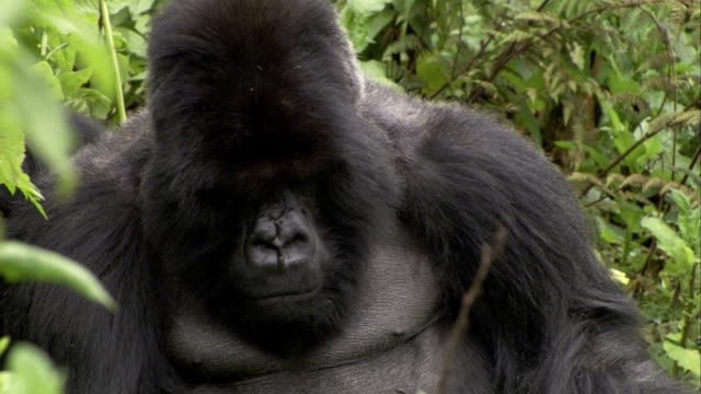 Flies buzz around a silverback mountain gorilla. Available in HD.