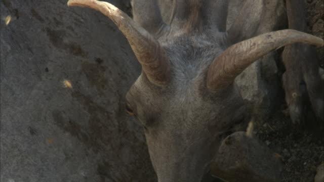 Flies buzz around Bighorn Ewe