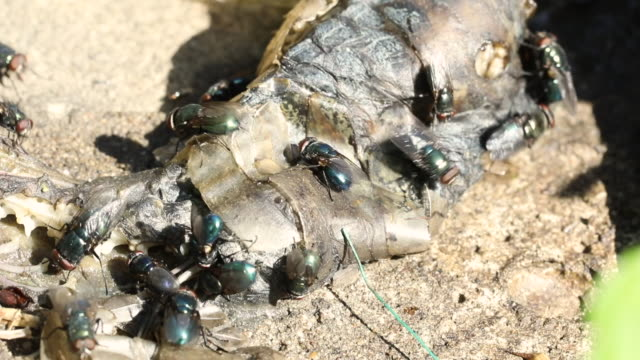 vidéos et rushes de mouches mangeant le serpent mort - mort description physique