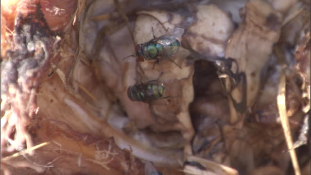 Flies feed on a buffalo carcass. Available in HD.
