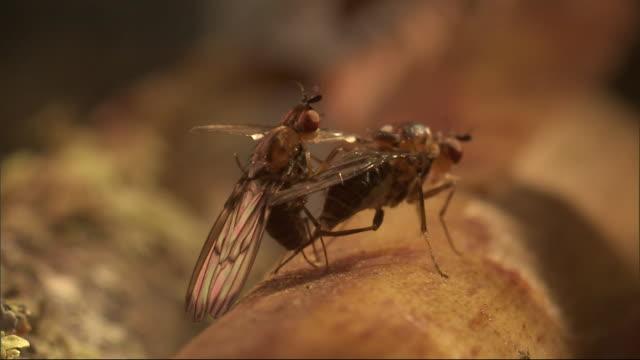 flies mate on a log. - gliedmaßen körperteile stock-videos und b-roll-filmmaterial