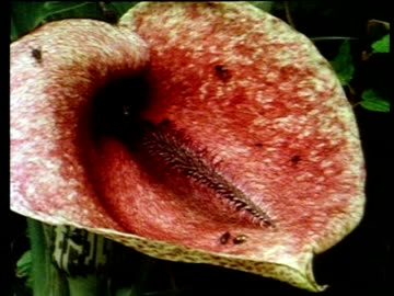 cu flies on surface of dead horse arum lily, sardinia - lily stock videos & royalty-free footage