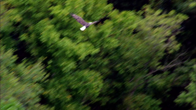 Flight Of Bald Headed Eagle  - Aerial View - Arkansas, Baxter County, United States