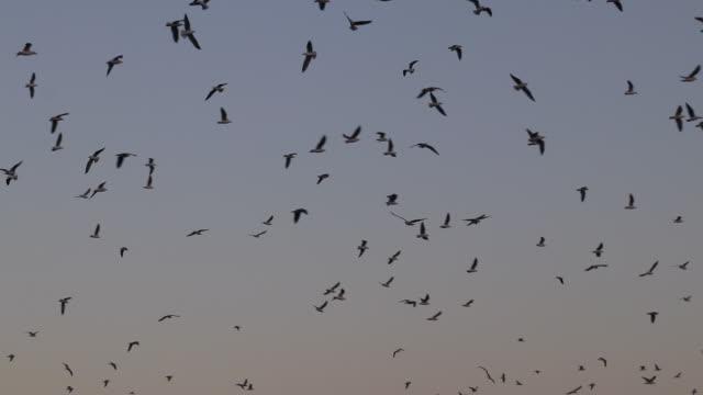 flight of birds after sunset - rotorua stock videos and b-roll footage