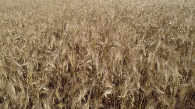 flight over agricultural field of ripe barley, full frame. barley is a cereal plant. franconia, bavaria, germany. - cereal plant stock-videos und b-roll-filmmaterial