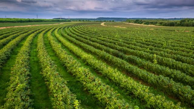 Flight over black currant plants -Aerial shot, Agriculture