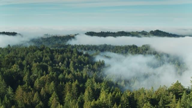vídeos de stock, filmes e b-roll de vôo sobre a floresta enevoada-vista aérea - sequoia sempervirens