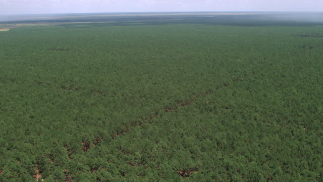 flight over pine forest - kieferngewächse stock-videos und b-roll-filmmaterial
