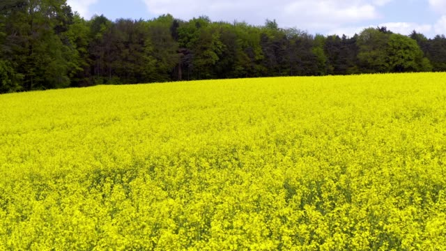 flight over rapeseed field - at the edge of stock videos and b-roll footage