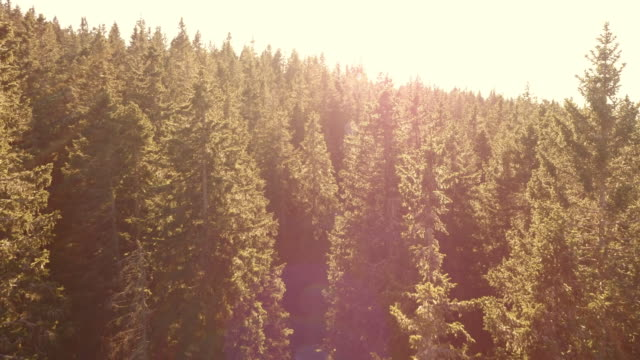 AERIAL Flight over spruce forest bathing in sunshine