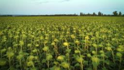 Flight over the field of sunflowers