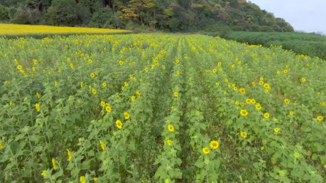 AERIAL: Flight over the Sunflower