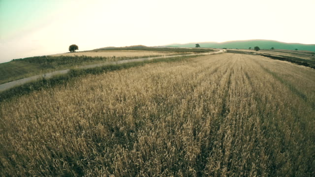 aerial: flight over the wheat field at sunrise - landscaped stock videos and b-roll footage