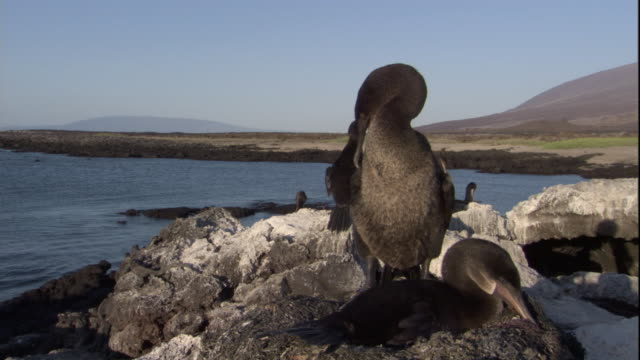 A Flightless Cormorant preens while its mate sits on their nest. Available in HD.