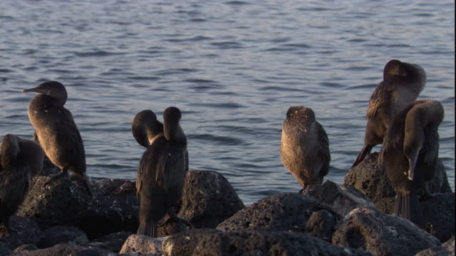 flightless cormorants perch on a rocky coast. available in hd. - sea bird stock videos and b-roll footage