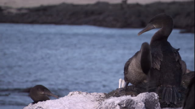 flightless cormorants rearrange seaweed on a nest. available in hd. - galapagos islands stock videos & royalty-free footage