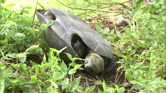 a flipped turtle getting up - upside down stock videos & royalty-free footage
