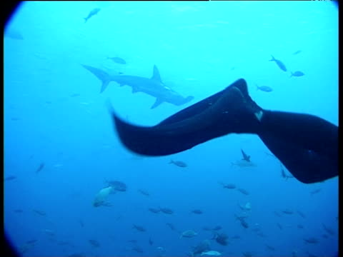 Flippers of diver kicking, scalloped hammerhead shark swims past in background Galapagos