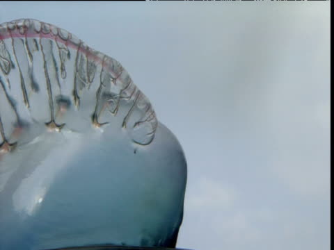 float of portuguese man o' war, bermuda - portuguese culture stock videos & royalty-free footage