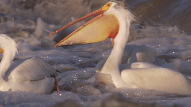 a flock of american white pelicans forage in rough water. - pelican stock videos & royalty-free footage