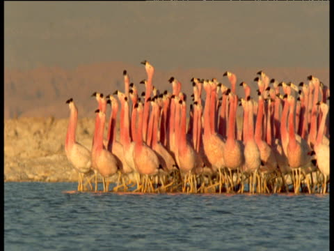 Flock of Andean flamingos courtship dance across soda lake at sunset