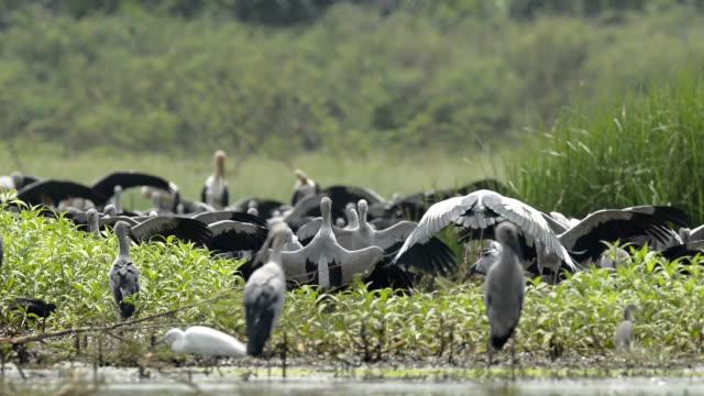 A flock of Asian Openbill