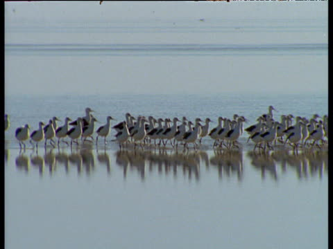 flock of banded stilts run across salt lake, australia - runaway stock videos & royalty-free footage