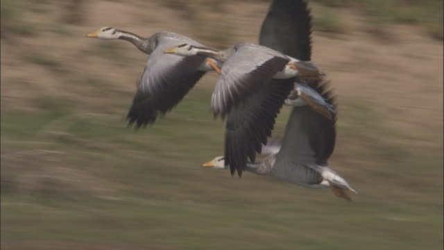 A flock of bar headed geese flies above the Chambal River. Available in HD.