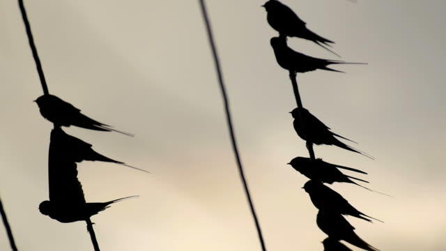 A flock of Barn swallows _Hirundo Rustica_ resting on a wire during migration and then flying