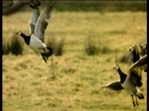 flock of barnacle geese take off from grassy field and fly through air, uk - barnacle stock videos & royalty-free footage