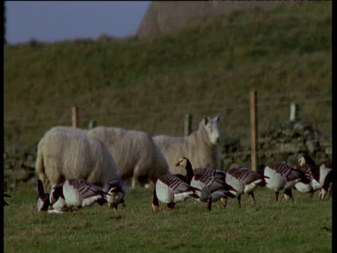 flock of barnacle geese walk and graze in field as sheep watch, ireland - barnacle stock videos & royalty-free footage
